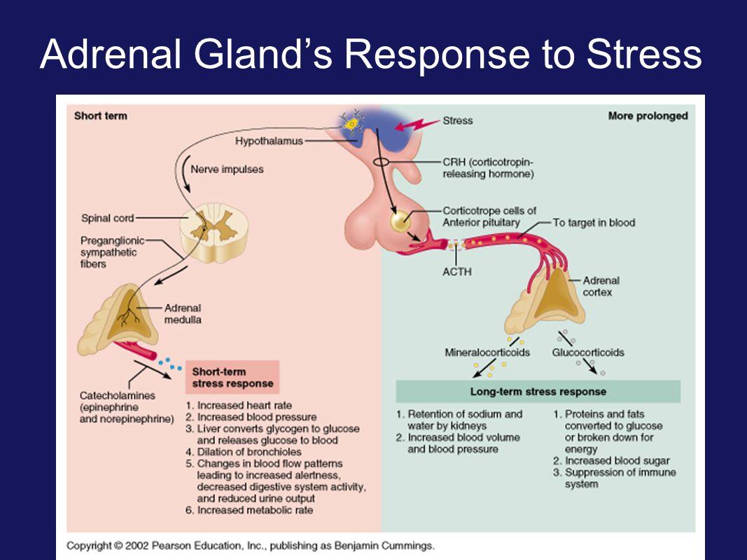 Adrenal Medulla Gland Ppt Video Online Download