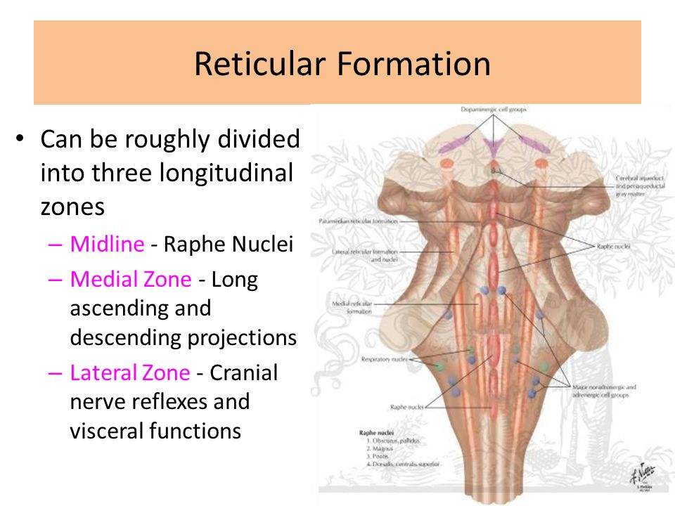 INTERNAL CAPSULE Reticular Formation. - ppt video online download
