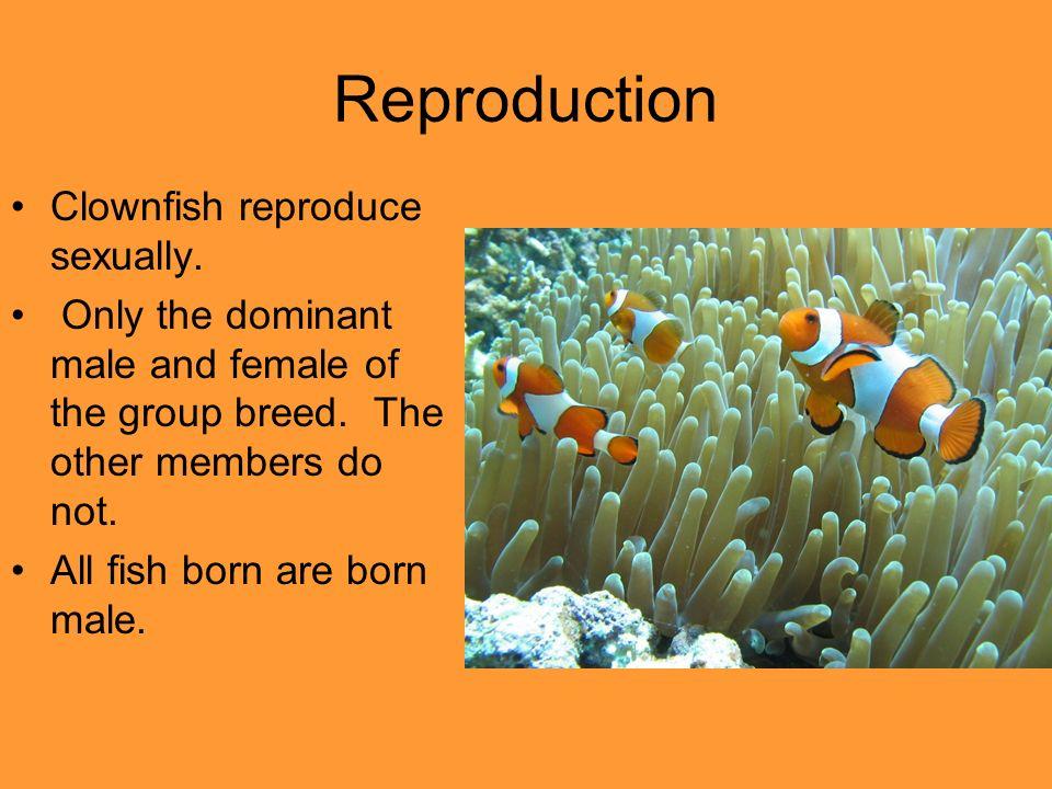 Orange Clownfish. - ppt video online download