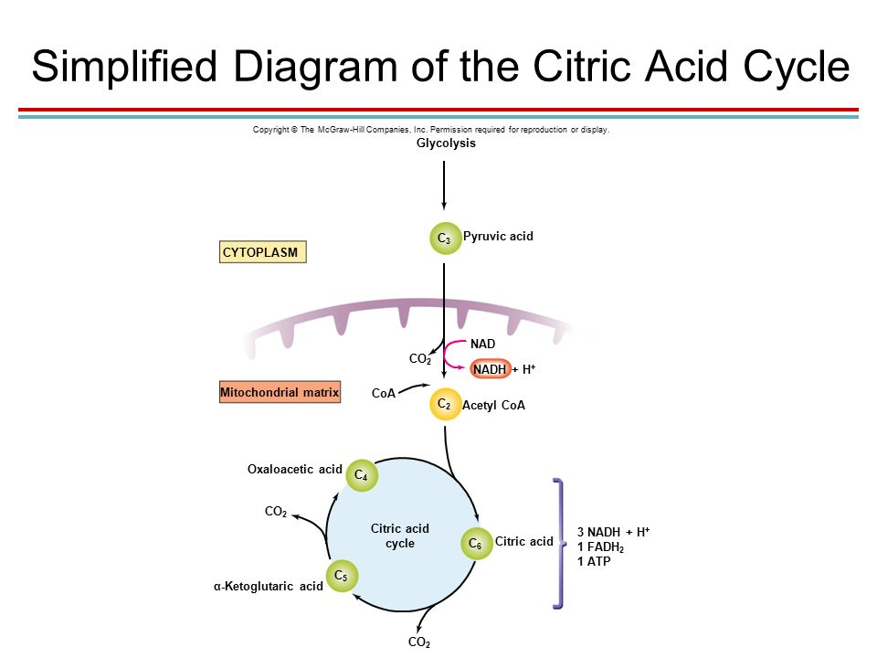 Chapter 05 lecture outline ppt video online download simplified diagram of the citric acid cycle ccuart Gallery
