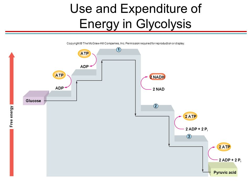 Chapter 05 lecture outline ppt video online download use and expenditure of energy in glycolysis ccuart Image collections