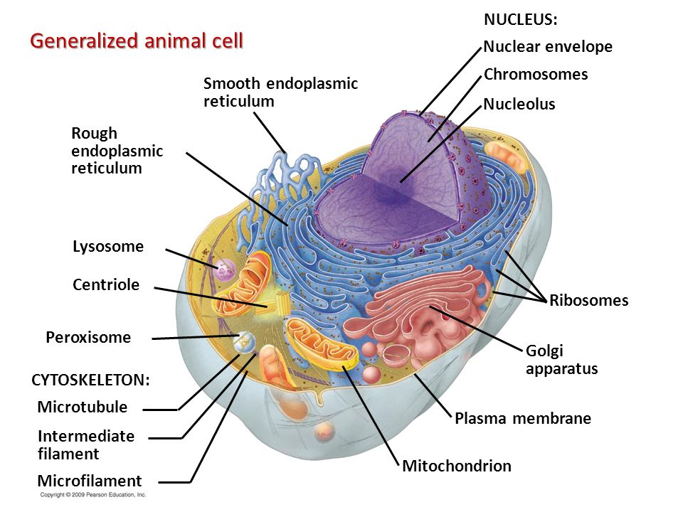 Chapter 4 a tour of the cell ppt download generalized animal cell ccuart Image collections