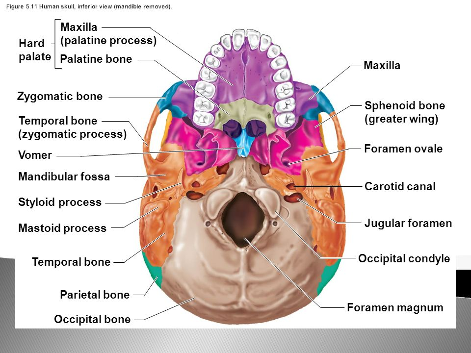 The Axial Skeleton Skull Cranium And Face Pages Ppt Download