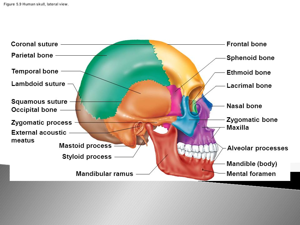 Diagram Of Joints In Skull - Trusted Wiring Diagram •