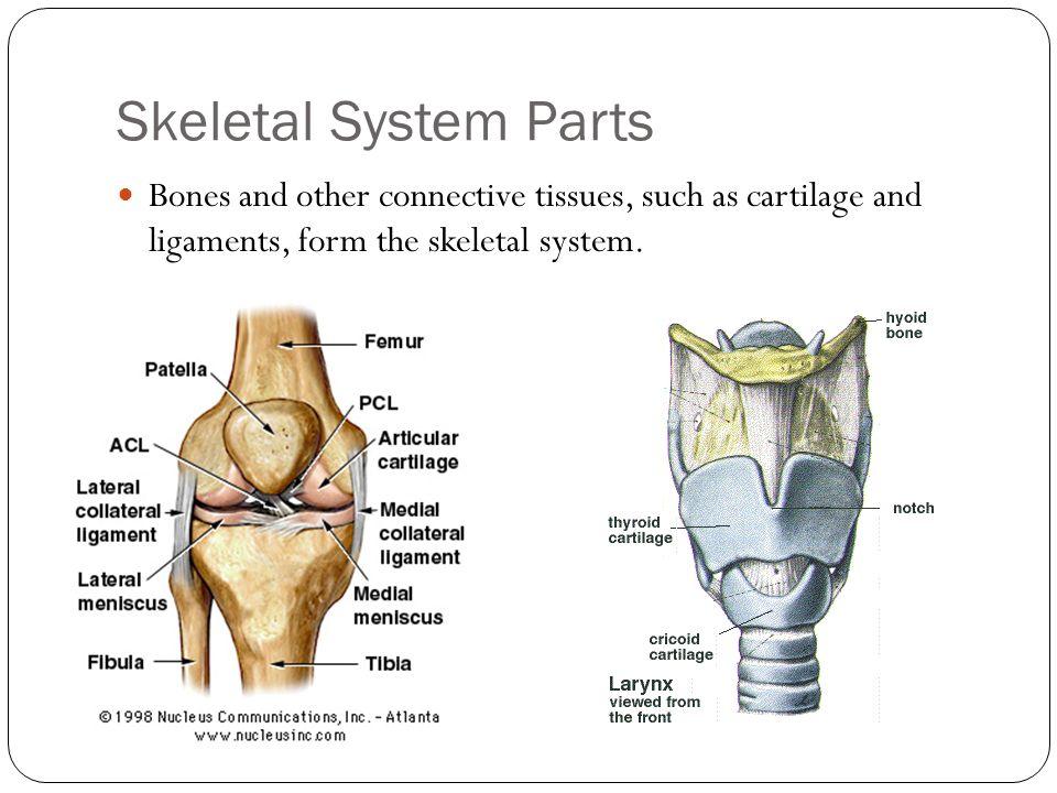 Skeletal System. - ppt video online download