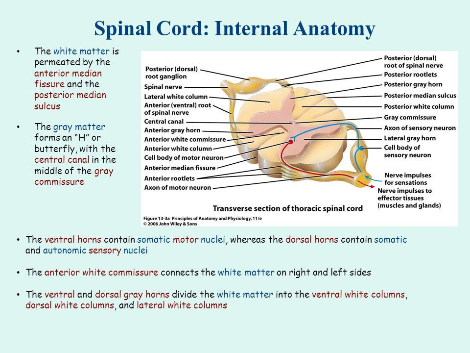 Spinal Cord Meninges The Spinal Meninges Dura Mater Arachnoid