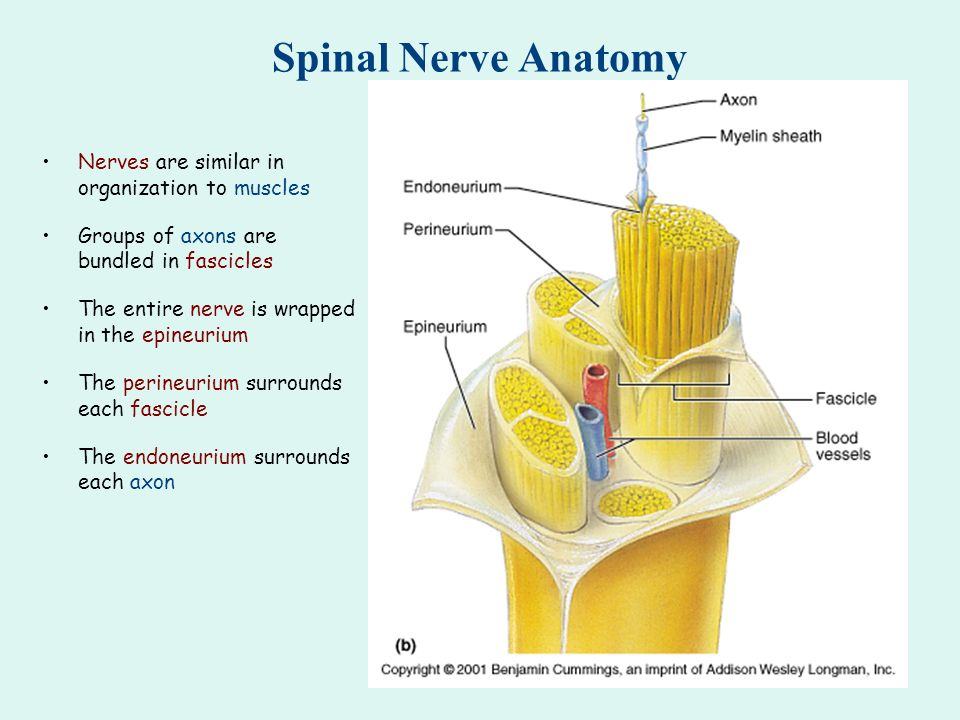 Spinal Cord: Meninges The spinal meninges (dura mater, arachnoid ...