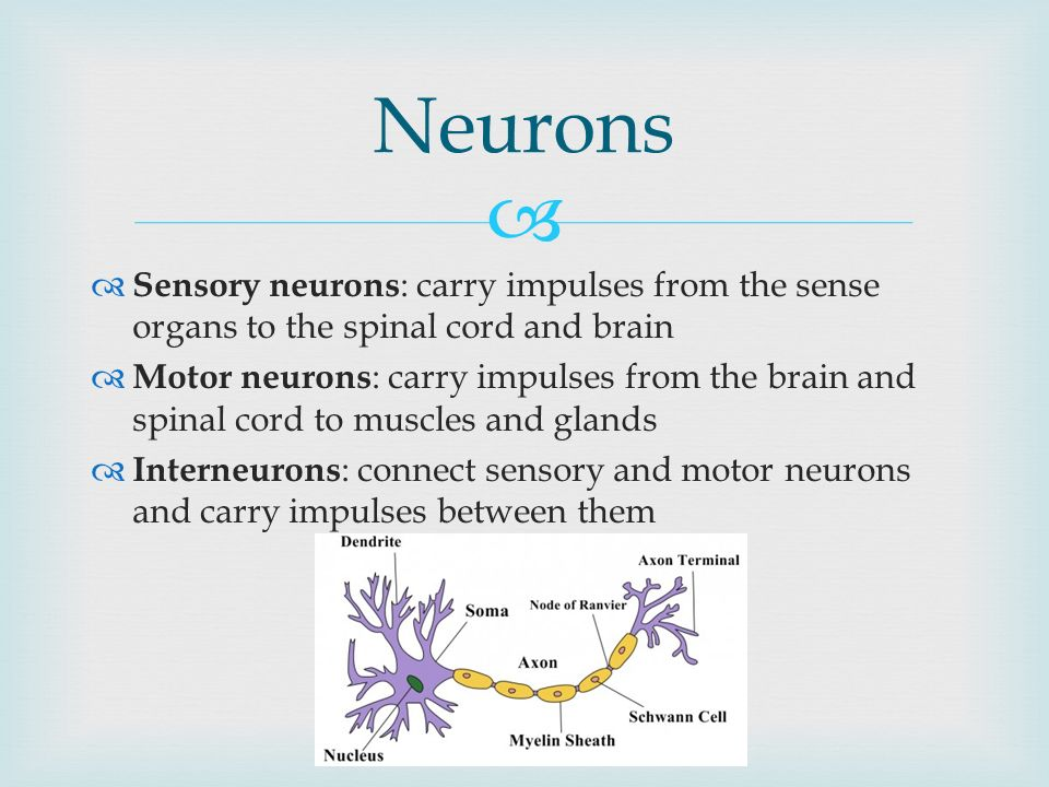 The Nervous System Read 352 Take Notes And Answer Questions 1 4