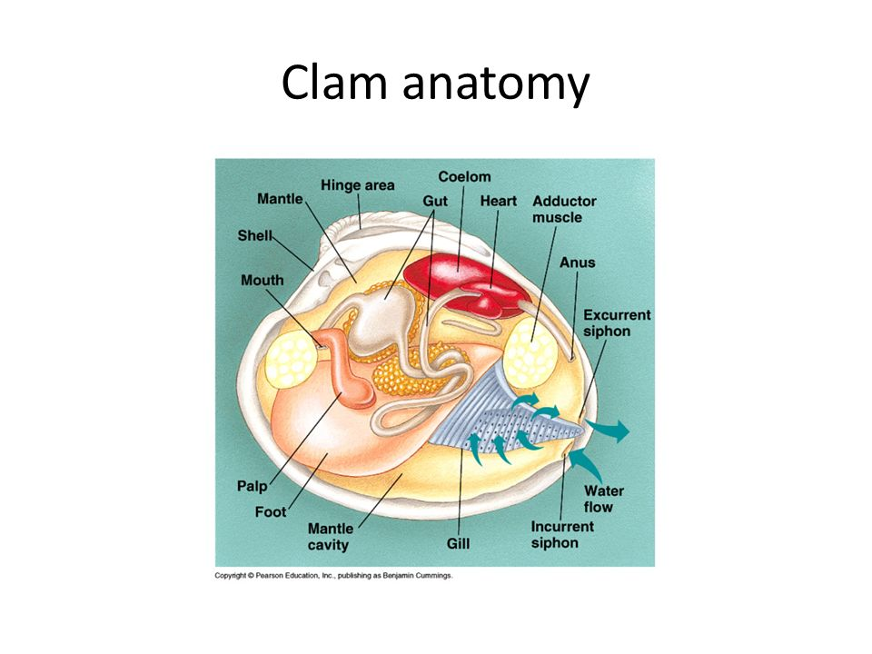 Old Fashioned Giant Clam Anatomy Adornment - Anatomy And Physiology ...