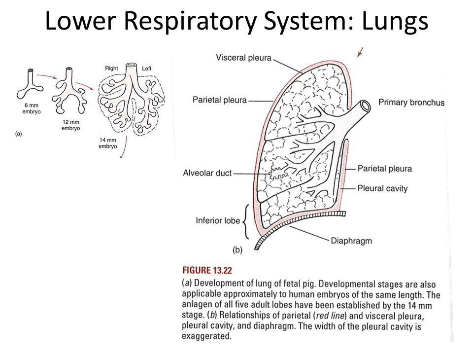 Introduction to respiratory system ppt video online download 27 lower respiratory system lungs ccuart Image collections