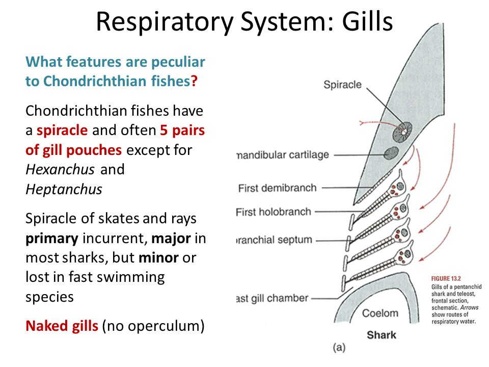 Shark respiratory system diagram complete wiring diagrams introduction to respiratory system ppt video online download rh slideplayer com dog respiratory system diagram animal ccuart