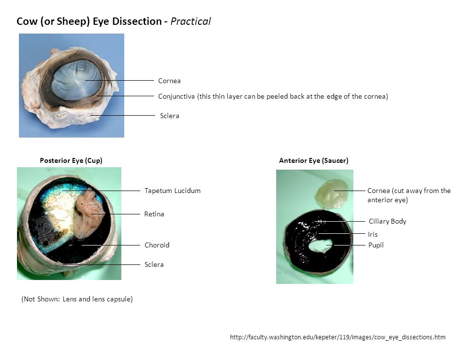 Exelent Anatomy Of A Cow Eye Frieze - Anatomy Ideas - yunoki.info