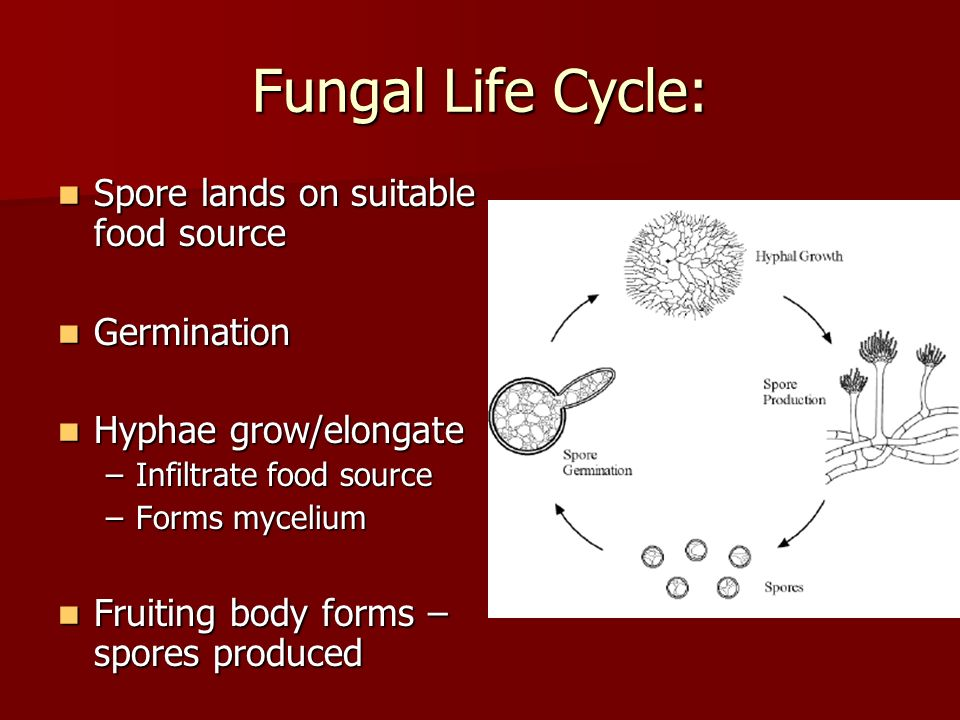 Fungi Kingdom  - ppt video online download