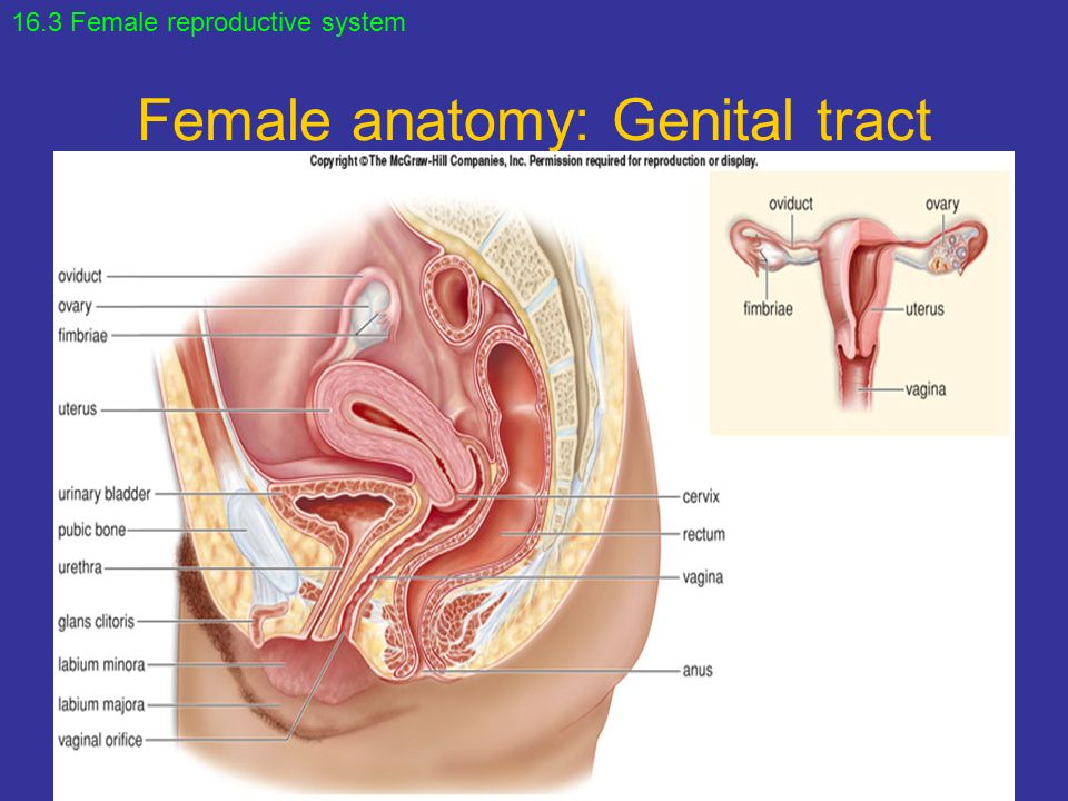 Female Reproductive System. - ppt video online download