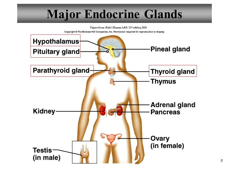 Exelent Pituitary Gland Anatomy And Physiology Motif - Human Anatomy ...