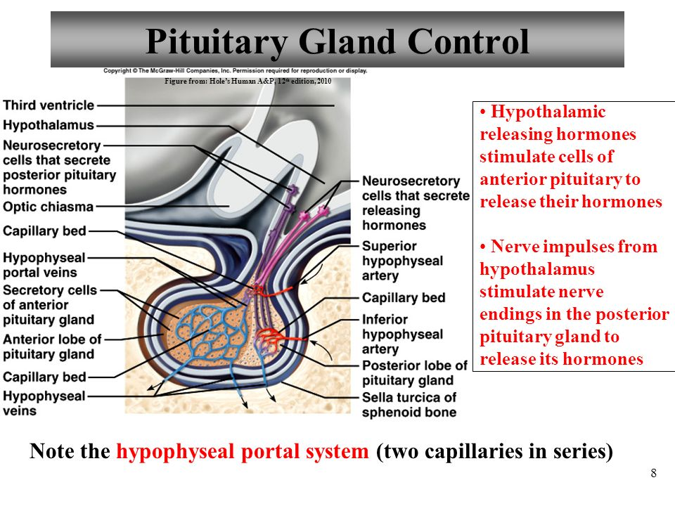 Anatomy And Physiology Part 2 Hormone Control Pituitary Gland