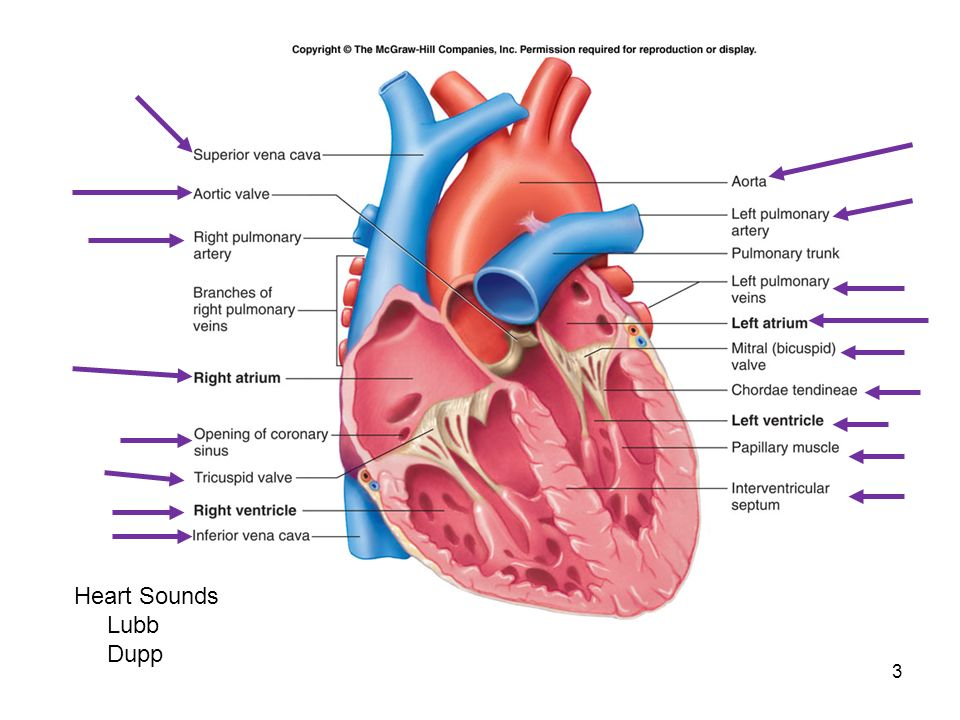 Heart Diagram Mcgraw Hill Block And Schematic Diagrams