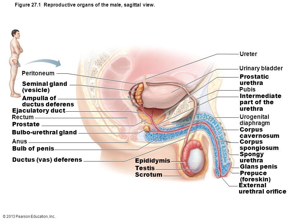 Diagram Of Male Genitals Pubis Information Of Wiring Diagram