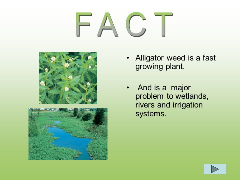 FACT Alligator weed is a fast growing plant.