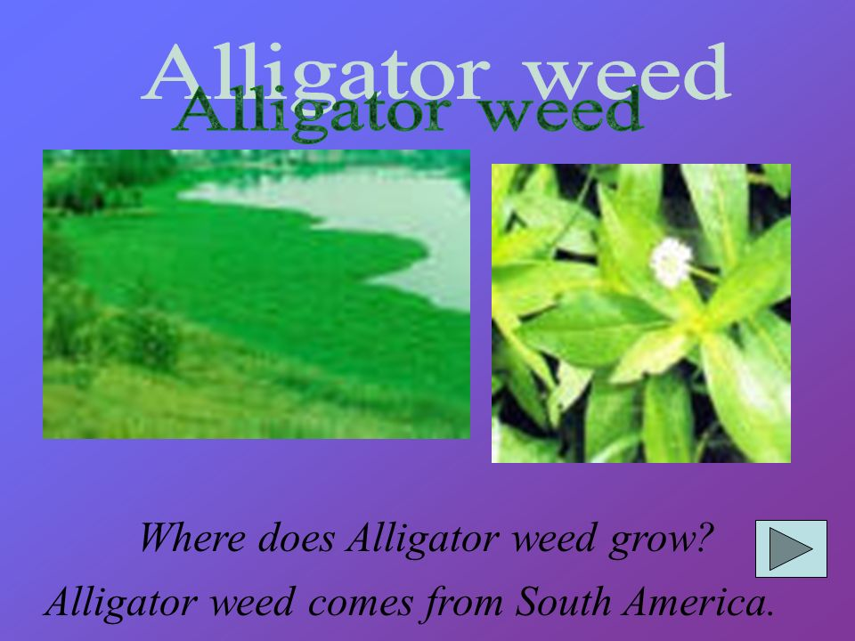 Alligator weed Where does Alligator weed grow