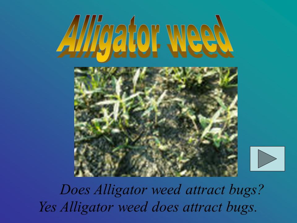Alligator weed Does Alligator weed attract bugs Yes Alligator weed does attract bugs.