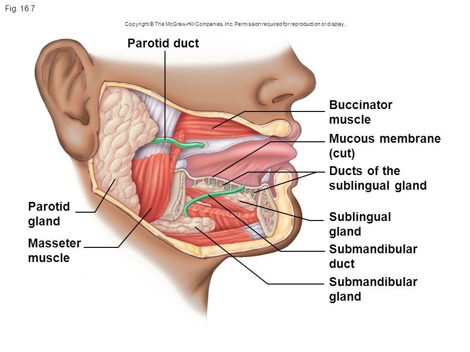 Pharynx (throat) Salivary Oral cavity glands (mouth) Esophagus ...