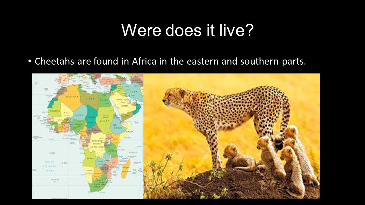 Where Does A Cheetah Live >> Cheetah By: Gabby. - ppt video online download