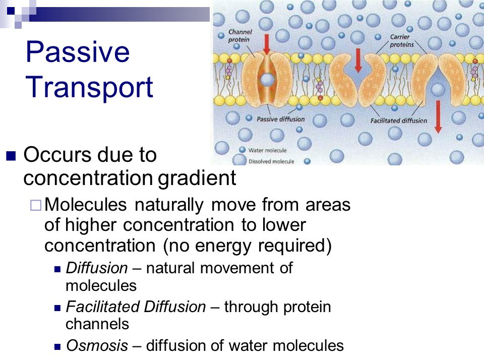 Passive Transport Occurs due to concentration gradient