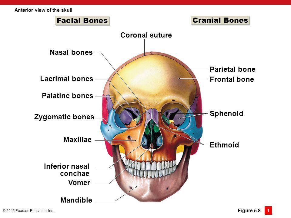 5 The Skeletal System Ppt Download