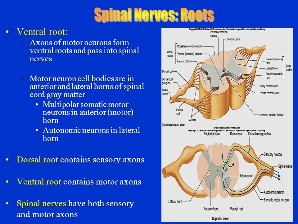 Chapter 12 13 Spinal Cord And Spinal Nerves Ppt Video Online