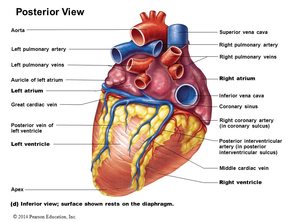 The Human Heart. - ppt download