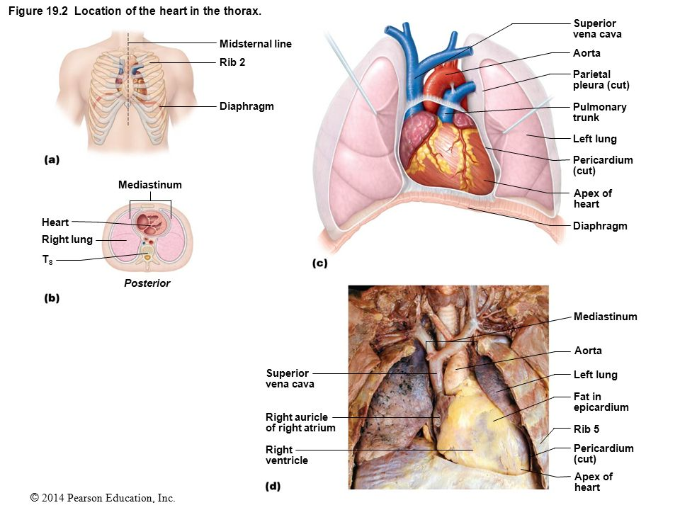 The Human Heart Ppt Download