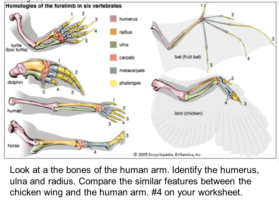 Wing Elbow Bone Diagram - Product Wiring Diagrams •