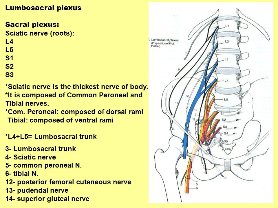 Lower limb : Bone, Muscles, Nerves and vessels - ppt video online ...