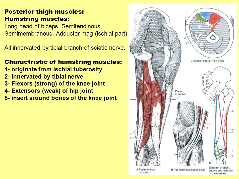 Lower Limb Bone Muscles Nerves And Vessels Ppt Video Online