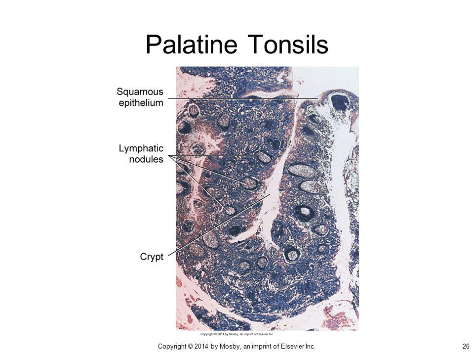 Salivary Glands and Tonsils - ppt video online download