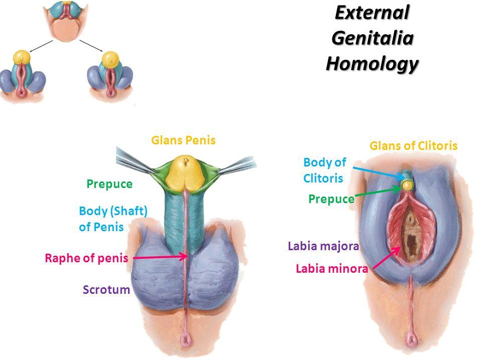 Beste Weibliche Klitoris Anatomie Bilder - Anatomie Von Menschlichen ...