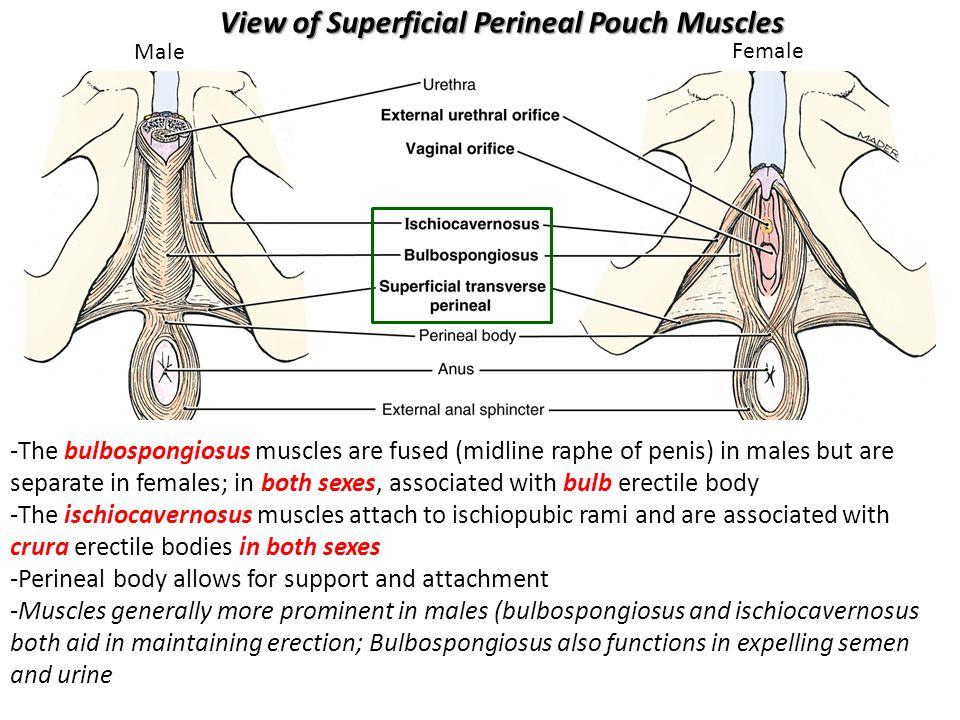 Male penis female-6296