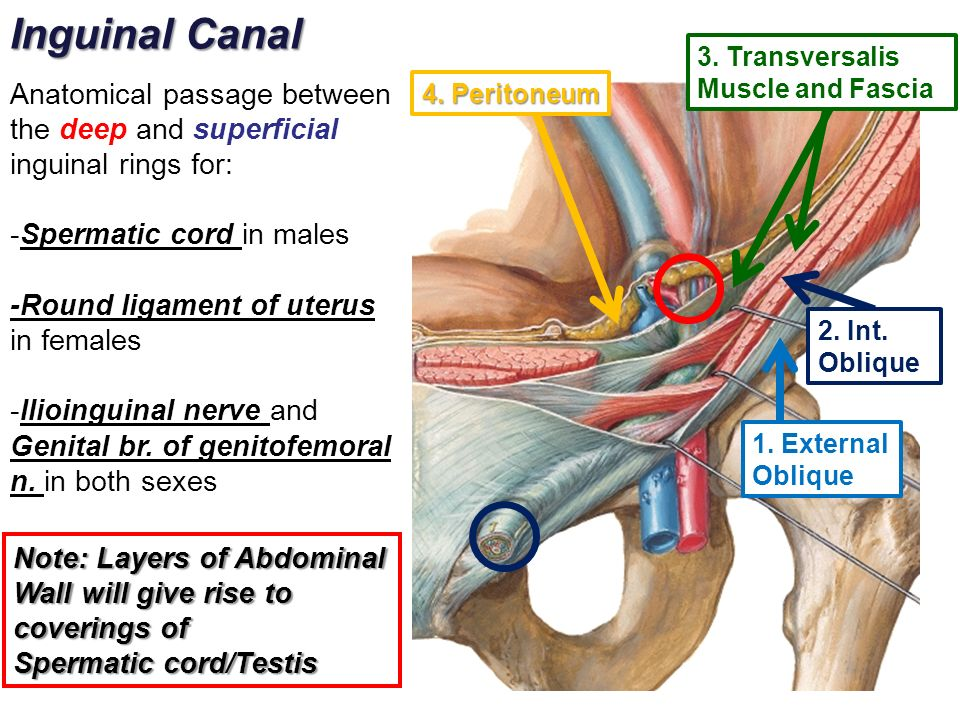 Diagram Of Male Inguinal Canal Information Of Wiring Diagram