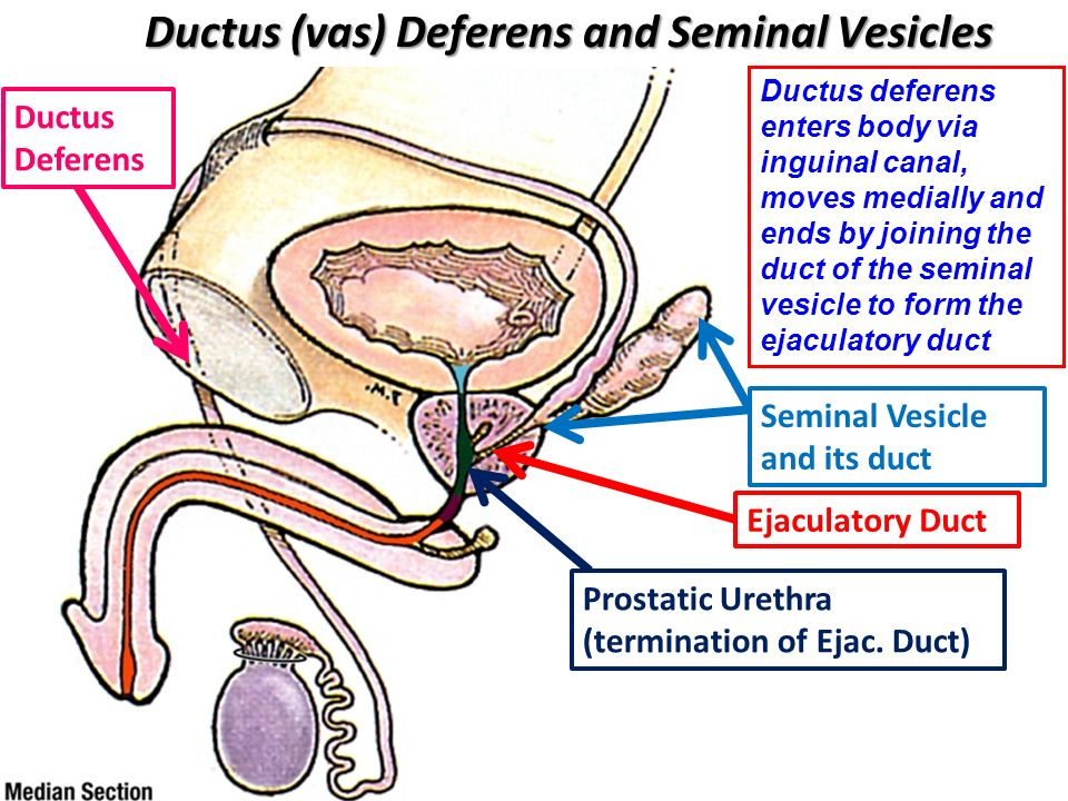 Male Reproductive Viscera Ppt Video Online Download