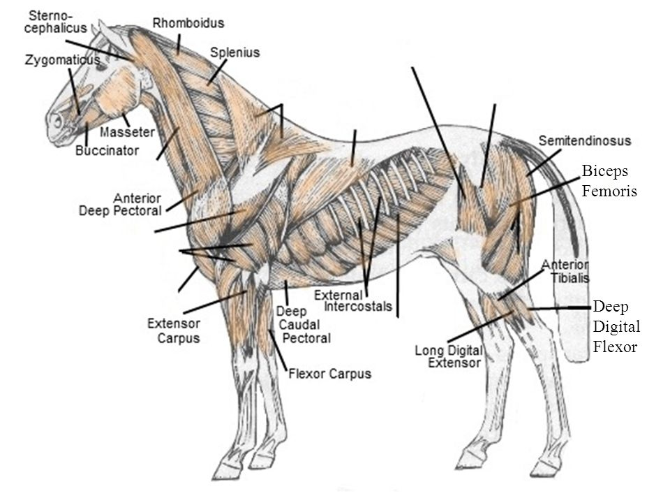 Equine Muscular System - ppt video online download