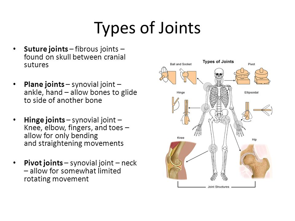 Joints The Area Where Two Bones Are Attached For The Purpose Of