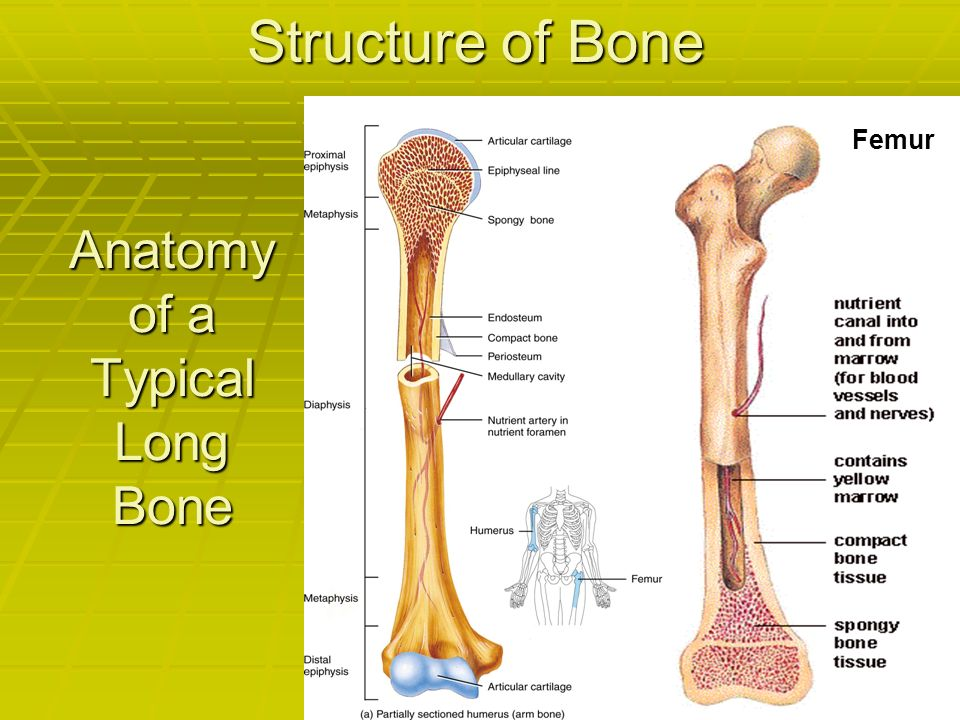 Contemporary Anatomy Of A Typical Long Bone Crest Anatomy And