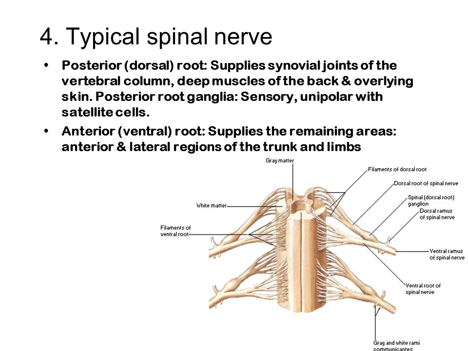 General Information About The Nervous System Ppt Video Online