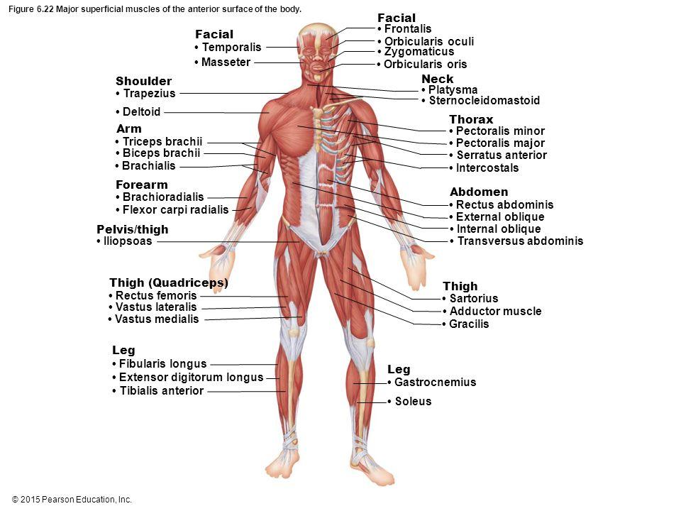 Anterior Muscle Diagram Pearson Diy Wiring Diagrams