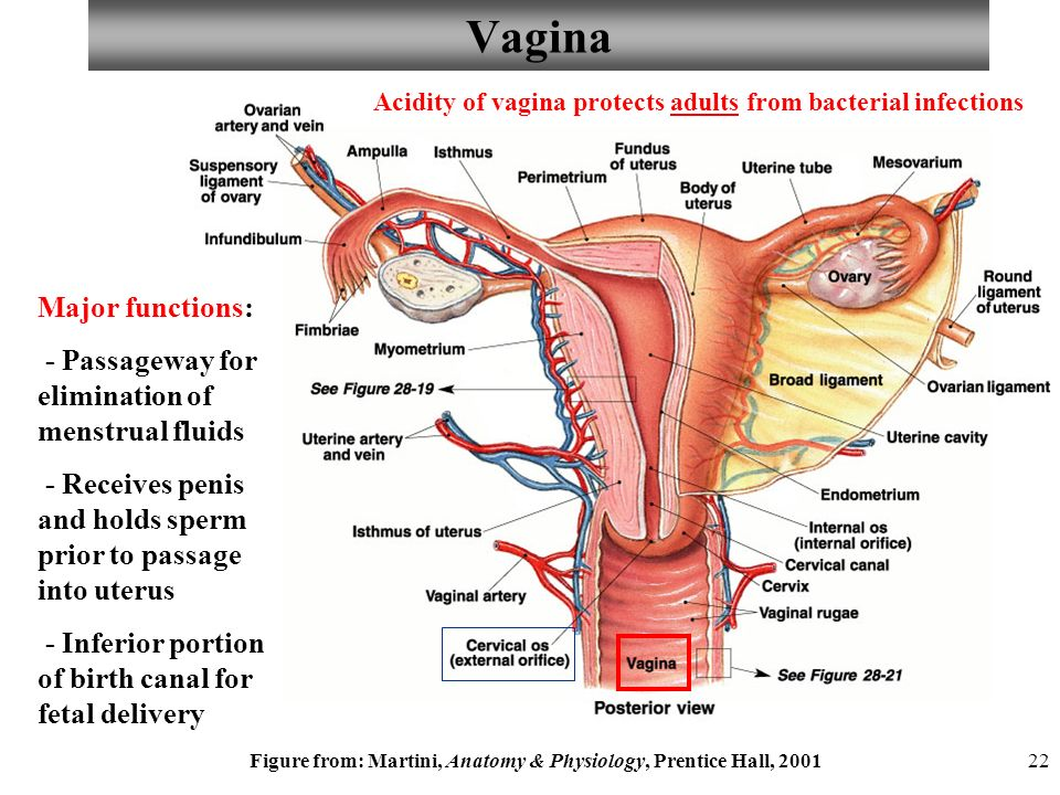 Anatomy and Physiology Chapter 25 Reproductive System – Female I ...