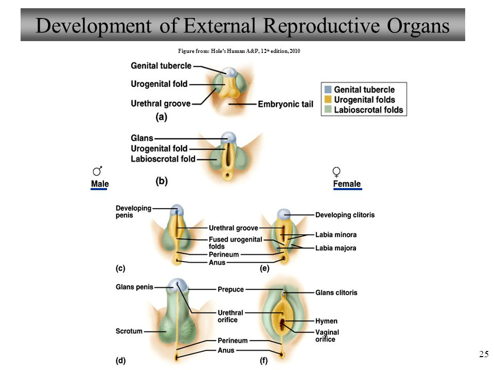 Anatomy And Physiology Chapter 25 Reproductive System Female I
