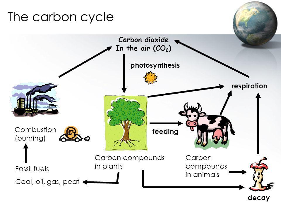 The carbon cycle Carbon dioxide In the air (CO2) photosynthesis