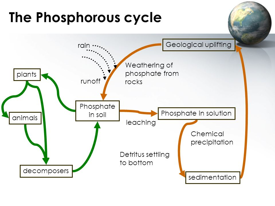 The Phosphorous cycle Geological uplifting rain