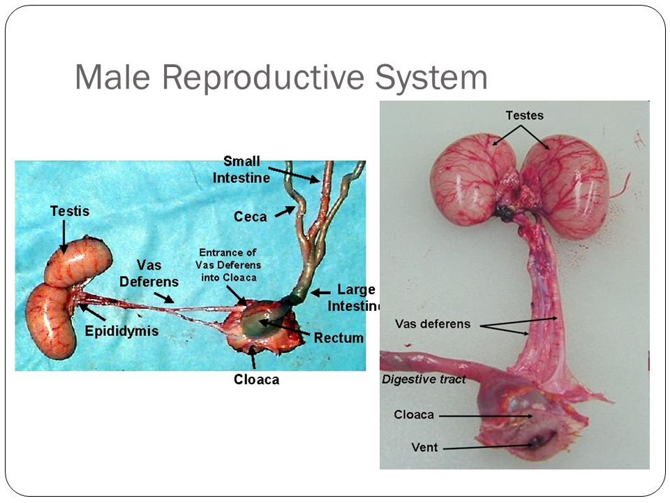 Poultry Reproductive System - ppt video online download